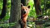 Ja, bitte?  Mit scheinbar fragendem Blick lugt ein Braunbär in Slowenien hinter einem, Baum hervor. Seine Heimat sind die ausgedehnten Laub- und Kiefernwälder in den Bergen des Landes. Während der Braunbär in anderen europäischen Ländern weitgehend ausgerottet wurde, leben im zur Hälfte bewaldeten Slowenien noch etwa 750 dieser scheuen Tiere. In diesem Jahr sind 125 von ihnen von den slowenischen Behörden zum Abschuss freigegeben. Tierschützer kritisieren, dass die Population künstlich durch Zufüttern hochgehalten werde, um an den Jagdlizenzen zu verdienen. Die angefütterten Tiere, seien weniger Menschenscheu und so ein leichteres Ziel für die Hobbyjäger.