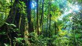 Auf diesem Bild stirbt ein Baum  Regenwald an einem Fluss im Nationalpark Tawau Hills in der malaysischen Provinz Sabah auf der Insel Borneo. Unter den Bäumen tobt ein Kampf in Zeitlupe. Hier hat eine Würgefeige den Stamm eines über 80 Meter hohen Flügelfruchtbaums umschlungen. Keine Umarmung aus Liebe, sondern eine, die den Tod bringt. Über viele Jahre wächst die Feige den Wirtsbaum hoch, stranguliert seine Leitgefäße undverdrängt seine Blätter. Am Ende stirbt der Wirt, doch die Würgefeige ist mittlerweile so stabil geworden, dass sie auch ohne ihn stehen kann: Sie hat seinen Platz eingenommen. Auf Borneo gibt es die größten Regenwaldbäume der Welt.