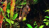 """Toilette mit Snackbox auf Borneo  Wie """"clever"""" Pflanzen sein können, zeigt diese Kannenpflanze der GattungNepenthes rajaham Mount Kinabalu auf Borneo. Ein Hochland-Spitzhörnchen hat es sich auf ihr gemütlich gemacht undleckt dennährstoffreichen Drüsensaft vom Deckelder Kanne. Die Pflanze ist so geformt, dass das Tier nur dann am Deckel lecken kann, wenn es sich mit seinem Po in die Öffnung der Kanne setzt – wie auf einer Toilette. Und genau das will die Pflanze auch sein. Die Ausscheidungen des Spitzhörnchens reichern das Sekret der Pflanze mit Stickstoff an, einem wichtigen Nährstoff, der auf Borneo selten ist. Auf diese Weise haben beide etwas davon: Das Spitzhörnchen bekommt eine Süßigkeit und die Pflanze Nährstoffe, an die sie sonstnicht gelangen würde. Andere Kannenpflanzen gehen diese Symbiose mit Ameisen ein. Die Ameisen verteidigen und reinigen die Pflanze und bekommen im Gegenzug süße Sekrete."""