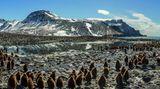 Die Kita der Königspinguine  Eine GruppeKüken von Königspinguinen wartet darauf, dass ihre Eltern mit Futter zurückkehren. Die jungen Tiere sind nur ein kleiner Teil der herbstlichen Versammlung an der Saint-Andrews-Bucht auf Südgeorgien. Die Insel liegt östlich derFalkland Inseln.