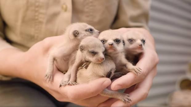 Herzallerliebst: Mini-Erdmännchen entdecken die Welt