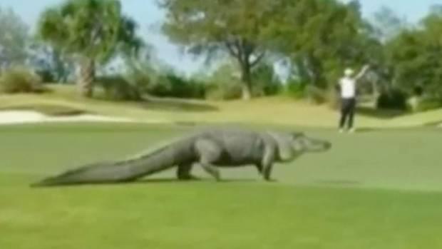 Alligator auf einem Goldplatz im US-Bundesstaat Georgia