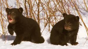 Zwei Schwarzbär-Jungtiere tollen im Schnee