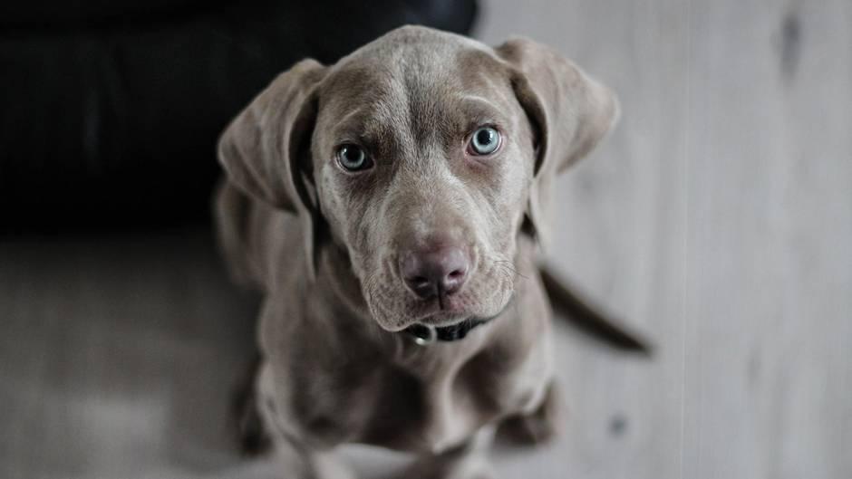 Ein grauer Hund mit blauen Augen schaut in die Kamera