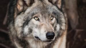 Der Wolfshund geht um! Kann er hier bei uns überleben?