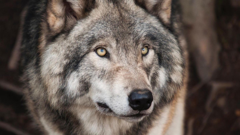 Wolfshunf