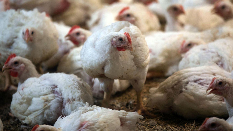 Masthühner in einem Stall