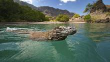Komodowaran (Varanus komodoensis) schwimmt nah am Strand
