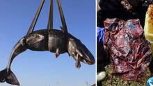 Auf Sardinien haben Meeresforscher 22 Kilogramm Plastikim Magen eines toten Wals entdeckt.