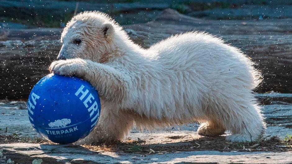 Berliner Eisbärbaby hat endlich einen Namen