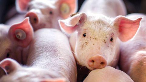 Ferkel stehen in einer Box in einer Schweinezuchtanlage.