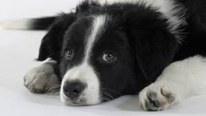 Hund der Rasse Border Collie schaut traurig in die Kamera.