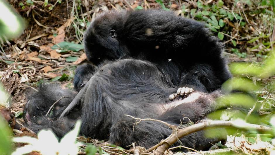 Ruanda: Gorillakind nimmt Abschied von toter Mutter