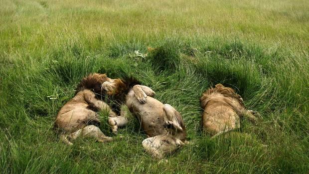 Pappsatt. Drei Löwen beim Verdauungsschläfchen in Kenias Steppe, nachdem sie ein Gnu verspeist haben.