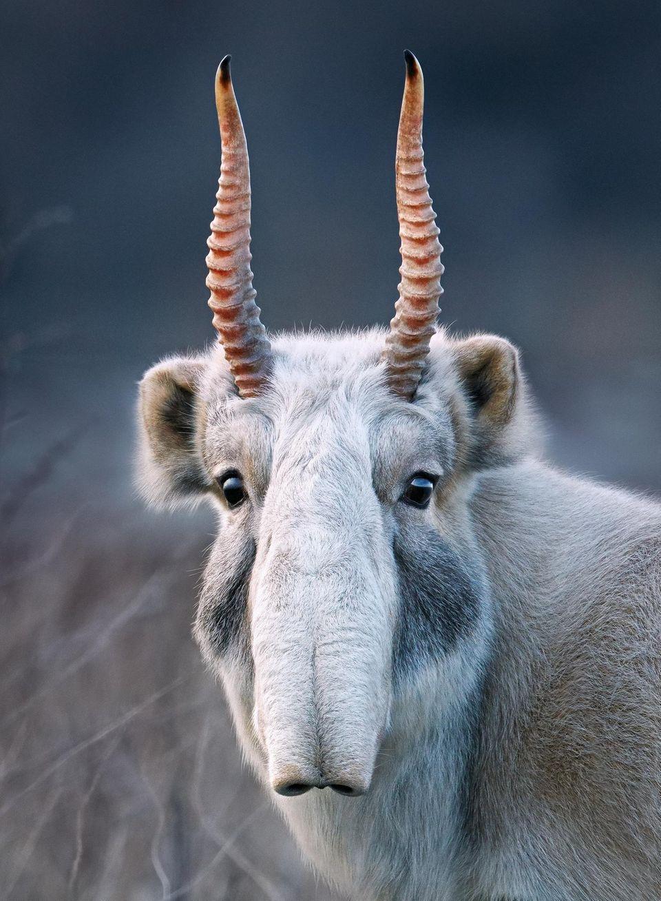 Blickfang. Eine männliche Saiga-Antilope in Kasachstan. Einst fast ausgerottet, wächst der Bestand der Tiere wieder.