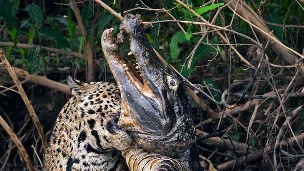 Revierkämpfer. Im brasilianischen Dschungel tötet ein Jaguarweibchen einen riesigen Kaiman.