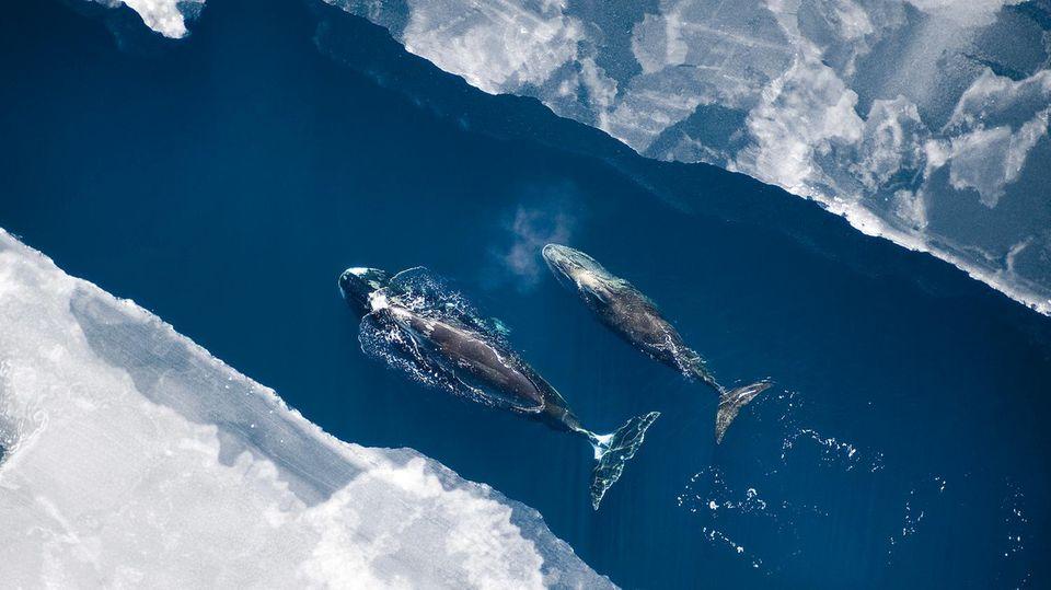 Lehrstunde. Ein Grönlandwalweibchen begleitet sein Kalb vor der Nordküste Alaskas.