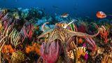 Schillernd. Ein Oktopus im bunten Korallenriff von Algoa Bay, nahe Port Elizabeth in Südafrika.