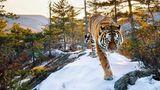 Königlich. Ein sibirischer Tiger streift durchs Sichtet-Alin-Gebirge im Osten Russlands.