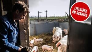 Tierquälerei: Noch immer werden Ferkel ohne Betäubung kastriert