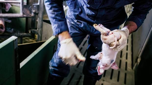 Die Narkose wirkt. Das Ferkel auf diesem Foto spürt keinen Schmerz. Mit einem Skalpell trennt Bauer Dietzel die kleinen Hoden ab.