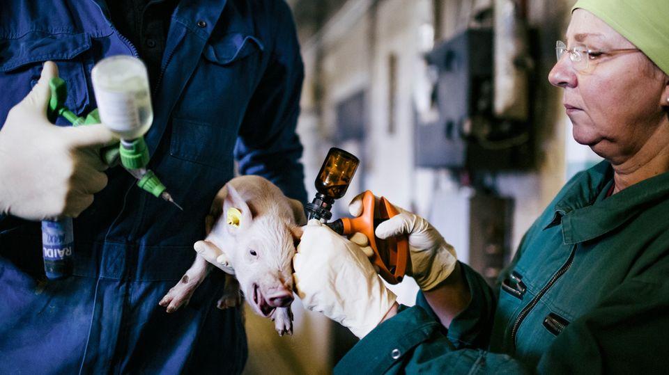 Bauer Dietzel spritzt dem Ferkel ein Schmerzpräparat, Tierärztin Gabriele Decker-Fischer injiziert das Narkosemittel