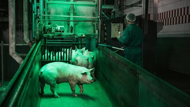 Im Schlachthof von Tönnies in Rheda-Wiedenbrück werden auch Eber verarbeitet. Grünes Licht beruhigt die Tiere auf ihrem Weg in die Betäubungskammer.