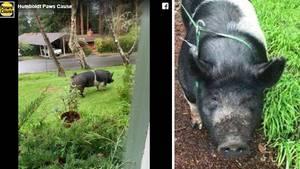 Nachbar schlachtete Hausschwein, obwohl er versprach es zu hüten