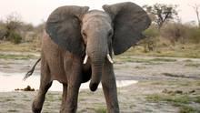 Ein afrikanischer Elefant greift an