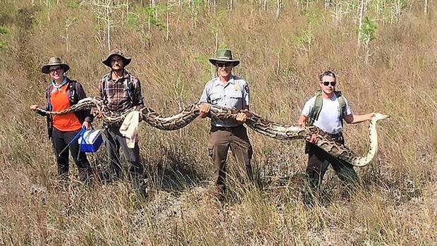 Vier Forscher heben einen mehr als fünf Meter langen und 63 Kilogramm schweren Riesenpython