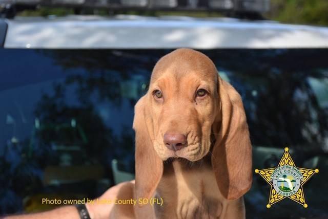 Bloodhound Rommel vor seinem Dienstantritt