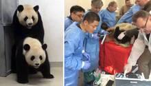 Die Pandas versuchten es klassisch (links), der Zoo ging lieber mit modernen Methoden auf Nummer sicher