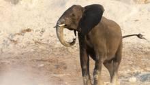 Die Elefantenpopulation in Afrika ist stark rückläufig