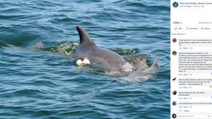 Eine Delfinmutter schiebt ihr totes Kalb auf der Nase vor sich her