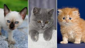 Deutschlands liebstes Haustier: Diese Katzenrassen werden am häufigsten gegoogelt