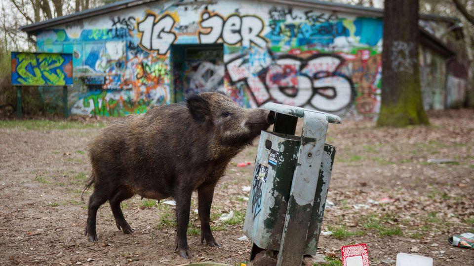 Das ist ein echtes Hauptstadt-Schwein: Ein Schwarzkittel sucht in Berlin-Tegelnach Futter.