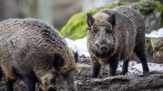Entspannte Schwarzkittel: In vielen Regionen fühlen sich Wildschweine in Deutschland zu Hause. Im Süden Berlins ist von einer wahren Plage die Rede.
