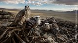Gewinner in der Kategorie Natur Stories: Ein Würgefalke-Weibchen und ihre Küken, fotografiert nahe Erdene Sant in der Inneren Mongolei. Die Tiere sind zunehmend vom Aussterben bedroht.