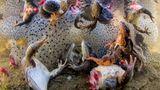 Sieger in der Kategorie Natur:Frösche, denen die Beine ausgerissen wurden, werden in Rumänien wieder ins Wasser zurückgeworfen.