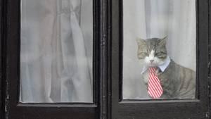 Die Katze von Julian Assange blickt aus einem Fenster der Botschaft Ecuadors in London:Dieses Foto stammt vom November 2016. Wo das Tier heute lebt - und ob es noch lebt-ist nicht bekannt.
