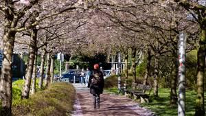 Eine Frau geht durch eine Alle mit blühenden Kirschbäumen