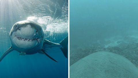 Weltweit erste Haizählung: Alle Haie, bitte melden!