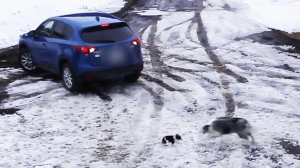 Kanada: Border-Collie rettet Chihuahua vor rückfahrendem Auto