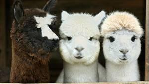 Drei Alpakas