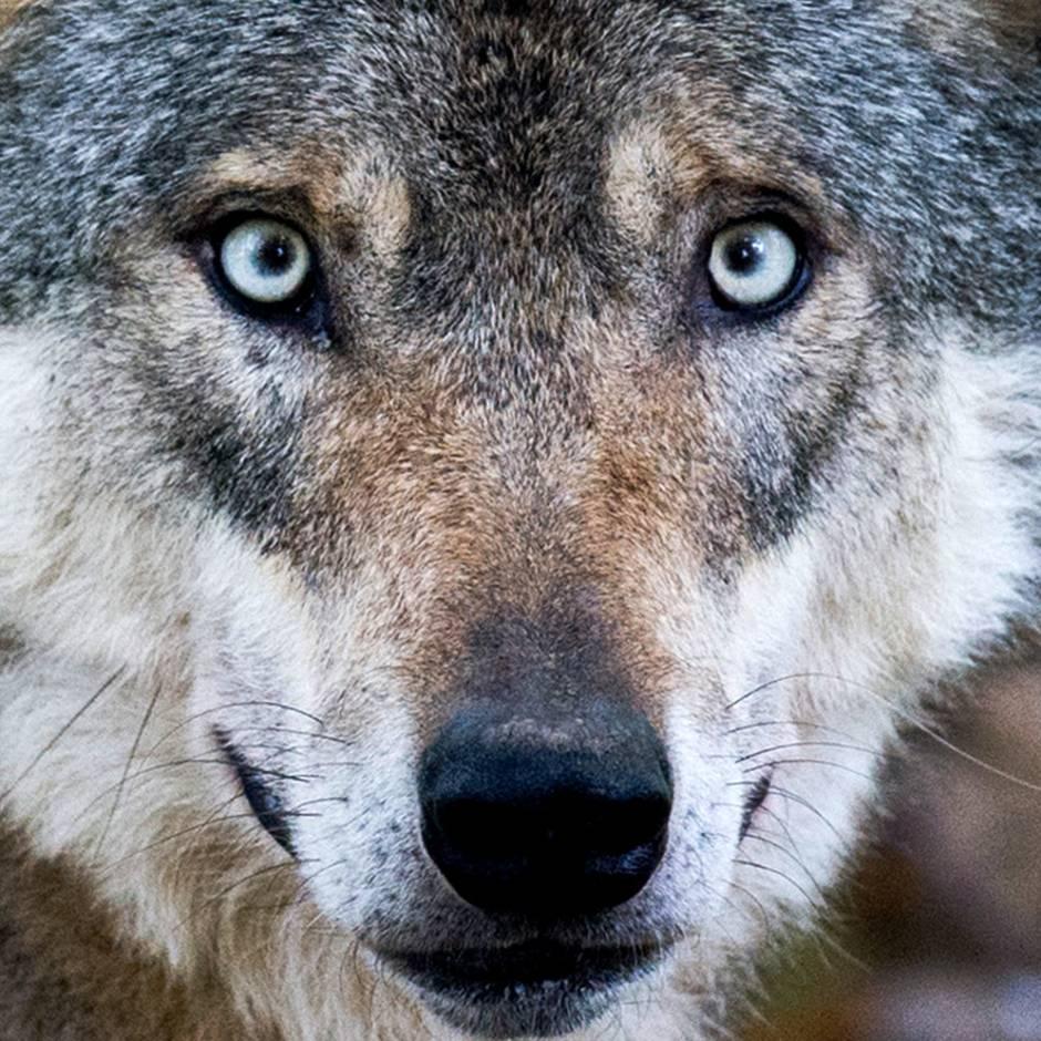 Problemwölfe: Jagdpräsident will Wölfe ins Saarland abschieben