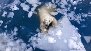 Ein Eisbär treibt auf einer Scholle im Wasser