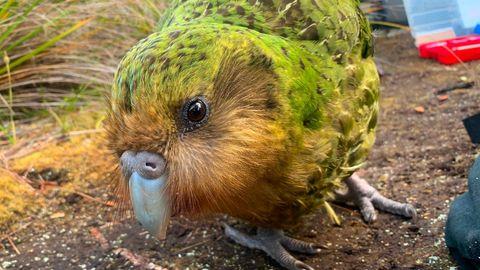 Ein Kakapo-Papagei läuft auf dem Boden umher