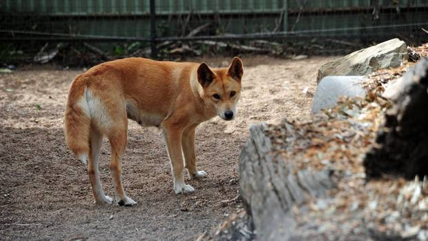 Dingo schleppt Kind in Australien weg