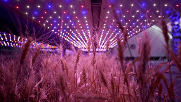 Im Gewächshaus wird Getreide angebaut.