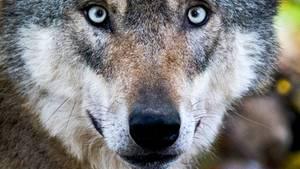 Dieser Wolf lebt in Niedersachsen in einem Gehege